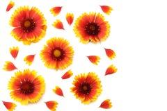 Tête de fleur jaune d'isolement sur le fond blanc Photo libre de droits