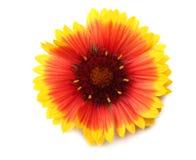 Tête de fleur jaune d'isolement sur le fond blanc Images libres de droits