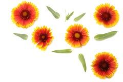 Tête de fleur jaune d'isolement sur le fond blanc Image stock