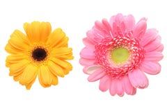 Tête de fleur de marguerite du Transvaal à un arrière-plan blanc photographie stock