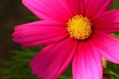 Tête de fleur rose avec le centre jaune Fond brouillé et vert-foncé photos libres de droits