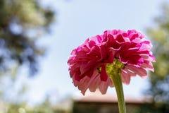 Tête de fleur rose de dahlia Photos libres de droits