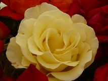 Tête de fleur rose jaune en pleine floraison entourée par les roseheads rouges et oranges image stock