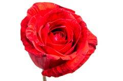 Tête de fleur de rose de rouge d'isolement sur le fond blanc Photos libres de droits