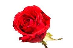Tête de fleur de rose de rouge d'isolement sur le fond blanc Photographie stock