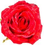 Tête de fleur de rose de rouge d'isolement sur le fond blanc Photo stock