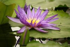 Tête de fleur violette de nénuphar Photos libres de droits