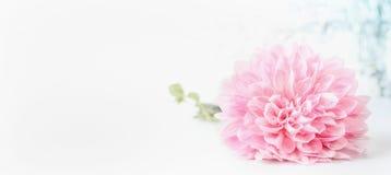 Tête de fleurs pâle rose sur le fond blanc, bannière avec la boîte de l'espace de copie utilisée pour saluer, nature, jardin ou c photographie stock