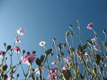 Tête de floraison de lychnide (coronaria de Lychnis) Photos libres de droits