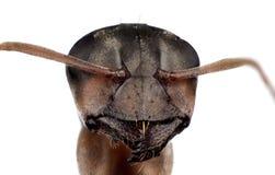 Tête de fourmi Images stock