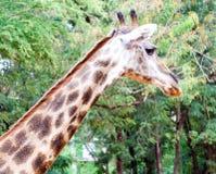 Tête de girafe Photos stock