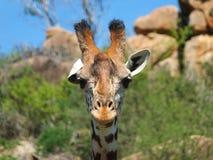 Tête de girafe Photo stock