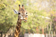 Tête de girafe image stock