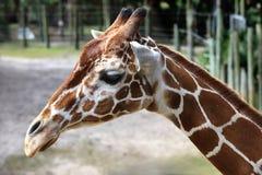 Tête de girafe Photos libres de droits