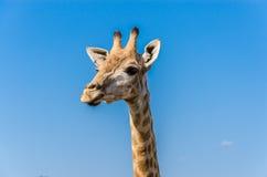 Tête de girafe avec le ciel bleu Photographie stock libre de droits