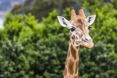 Tête de girafe avec le cou au-dessus du fond vert Image libre de droits