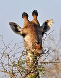 Tête de girafe en Afrique Photo libre de droits