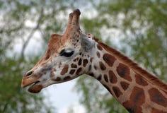 Tête de giraffe Photos stock