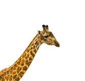 Tête de giraffe au-dessus du fond blanc images libres de droits