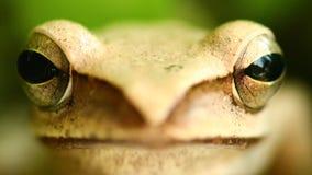 Tête de grenouille d'arbre la macro et portrait volants de yeux se ferment  banque de vidéos