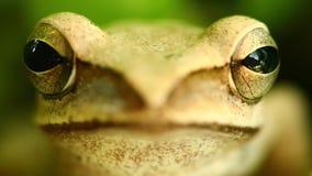 Tête de grenouille d'arbre la macro et portrait d'or de yeux se ferment  clips vidéos