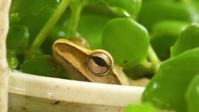 T?te de grenouille d'arbre macro et charge statique d'or de plan rapproch? d'oeil banque de vidéos