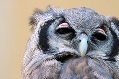 Tête de hibou Photographie stock libre de droits