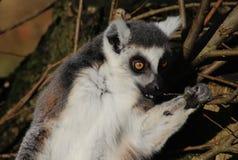 Tête de lémur coupée la queue par anneau Image libre de droits