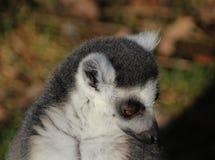 Tête de lémur coupée la queue par anneau Photos libres de droits
