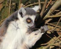 Tête de lémur coupée la queue par anneau Photographie stock