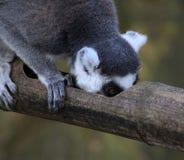Tête de lémur coupée la queue par anneau Photographie stock libre de droits