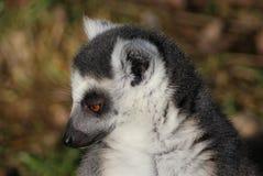 Tête de lémur coupée la queue par anneau Photo libre de droits