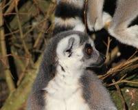Tête de lémur coupée la queue par anneau Image stock