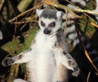 Tête de lémur coupée la queue par anneau Images libres de droits