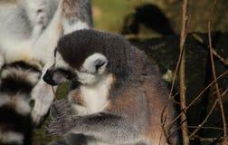 Tête de lémur coupée la queue par anneau Photos stock