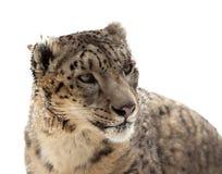 Tête de léopard de neige Image stock