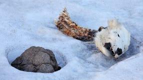 Tête de l'ours blanc mort Image stock