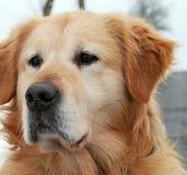Tête de Labrador. images libres de droits
