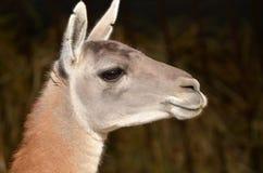 Tête de lama Images stock