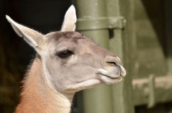 Tête de lama Image libre de droits