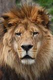 Tête de lion photographie stock