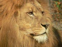 Tête de lion Image stock