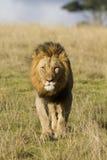 Tête de lion en fonction Image libre de droits