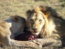 Tête de lions Image libre de droits