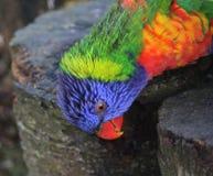 Tête de lorikeet d'arc-en-ciel Images libres de droits