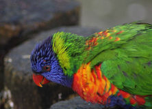 Tête de lorikeet d'arc-en-ciel Photo stock