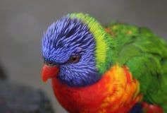 Tête de lorikeet d'arc-en-ciel Photos libres de droits