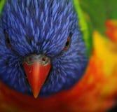 Tête de lorikeet d'arc-en-ciel Image libre de droits