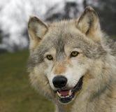 Tête de loup de bois de construction (lupus de Canis) Images libres de droits