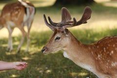 Tête de mâle de cerfs communs affrichés Images stock